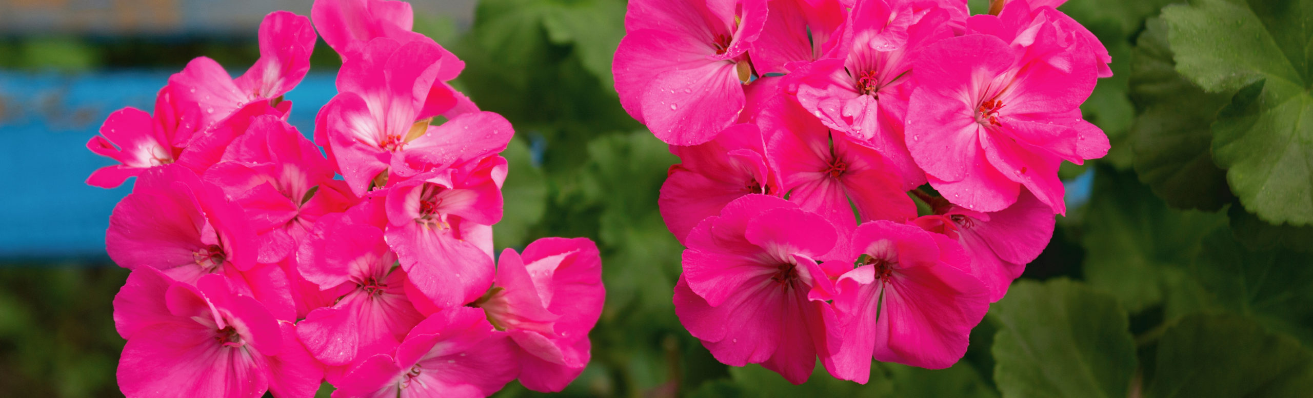 Flower Power: Geranium Offers Super Support During PMS, Hormonal Imbalance